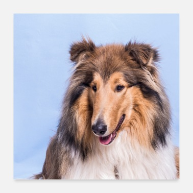 Long-haired Long-haired Herd Dog Collie 2 - Poster