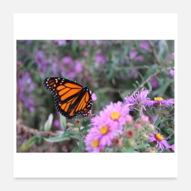 Canada monarch butterfly in Toronto Canada - Poster 24 x 24 (60x60 cm)