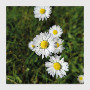 Daisies on a meadow - Poster 24 x 24 (60x60 cm)