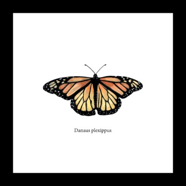 Monarch Butterfly - Poster 60x60 cm