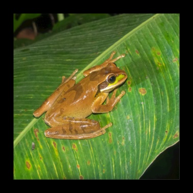 Smile phaeotha - Masked frog - Poster 24 x 24 (60x60 cm)