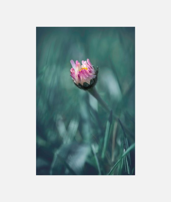 Nature Posters - Daisies flower blossom spring - Posters white