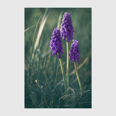 Grape hyacinths group in spring - Poster 8 x 12