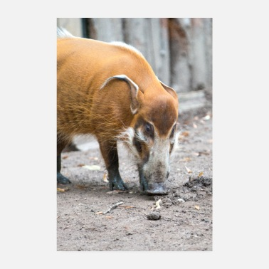 Hog bush pig or red river hog - Poster