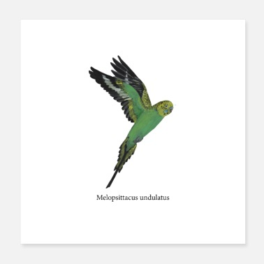 Flight Budgerigar in flight - Poster 20x20 cm