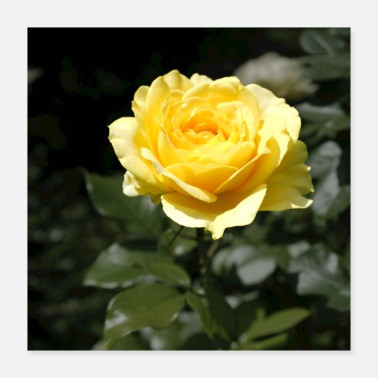 Yellow yellow rose - Poster 40x40 cm