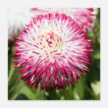 Belly Pink Bellis Perennis Daisies - Poster