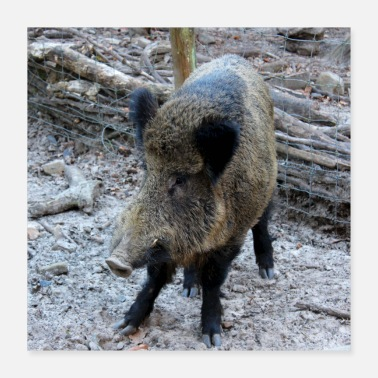 Wild Boar Wild boar wild boar pig sow pig poster - Poster
