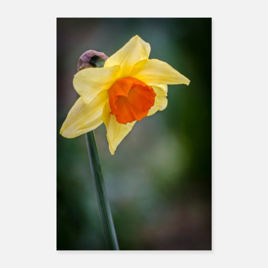 Tuin Posters - Gele narcis - Posters wit