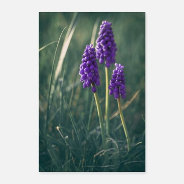 Group Grape Hyacinth flower blossom spring purple - Poster 24 x 35 (60x90 cm)