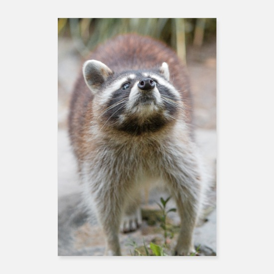 Raccoon Posters - North American raccoon (racoons) - Posters white