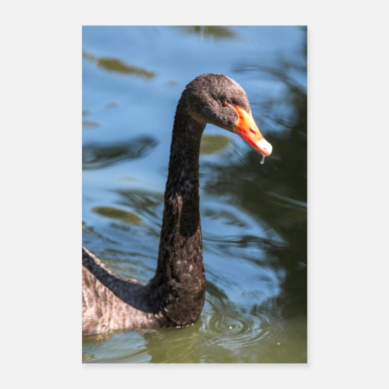 Feather Posters - Black Swan, Black Swan, Mourning Swan - Posters white