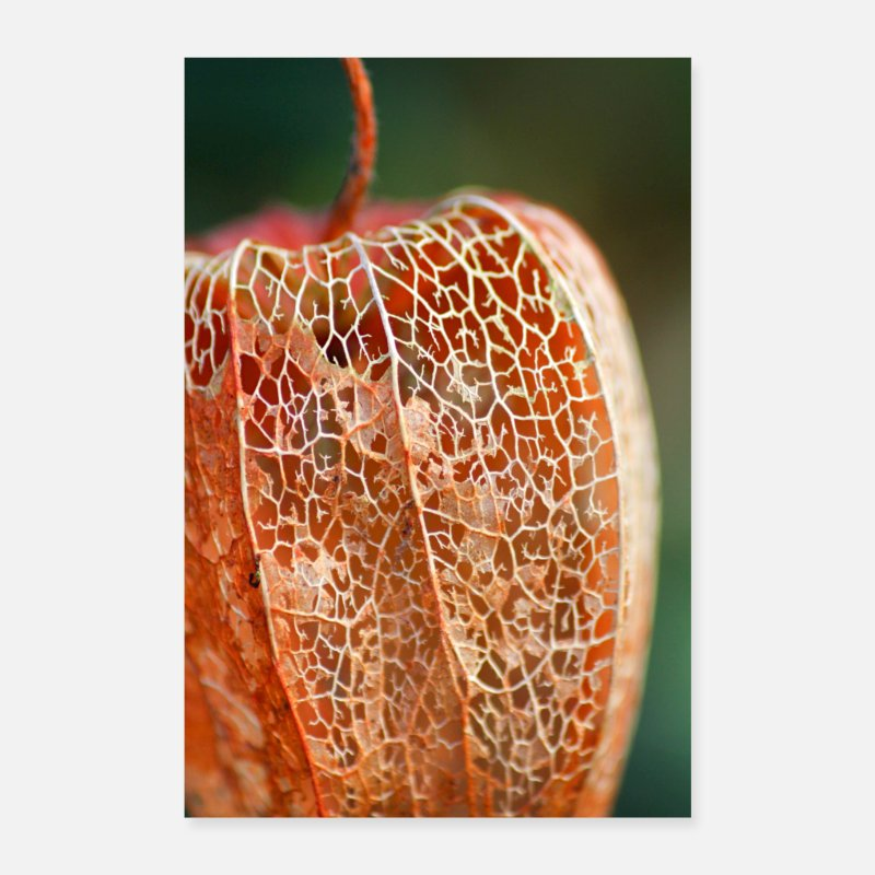 Flora Posters - Physalis in de winter - Posters wit