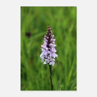 Author Fox's orchid (Dactylorhiza fuchsii) - Poster