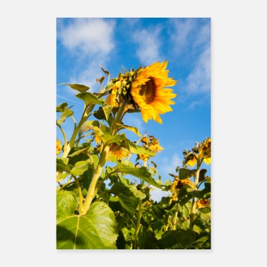 Wind Sunflowers in the wind - Poster 16 x 24 (40x60 cm)