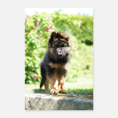 Long-haired Long-haired Herd Dog Old German shepherd - Poster