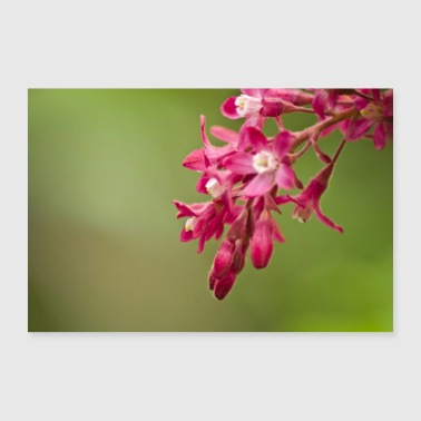 Ribes sanguineum Blood ribs by Ulla Garden - Poster 90x60 cm