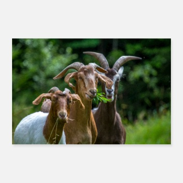 Three goats - Poster