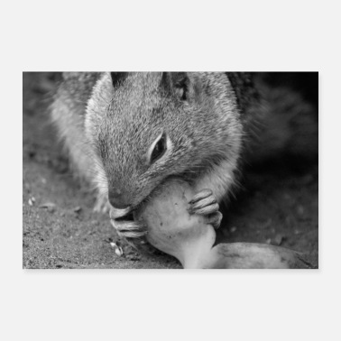 Rodent Squirrel squirrel animal nature - Poster 36 x 24 (90x60 cm)