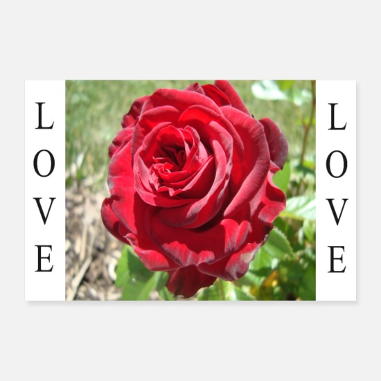 Amore Poster - Love (Rose) - Poster bianco