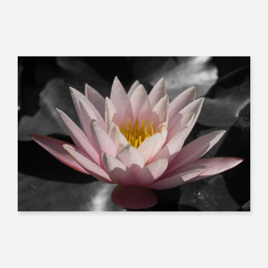 Relaxe Pink water lily with black background - Poster 36 x 24 (90x60 cm)