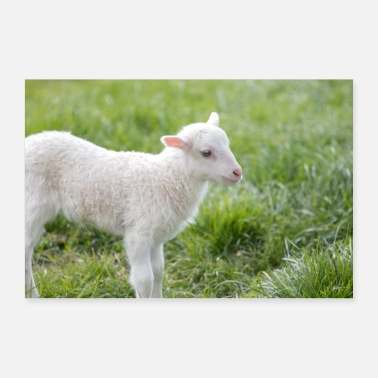 Playing Lamb (Ovis) lamb - Poster 36 x 24 (90x60 cm)
