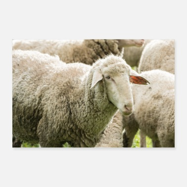Wool Sheep (Ovis) in the pasture - Poster 36 x 24 (90x60 cm)