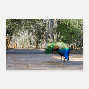 Sweep Blue peacock in Thailand - Poster