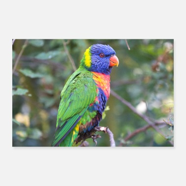 Jungle Rainbow lorikeet (Allfarblori) - Poster