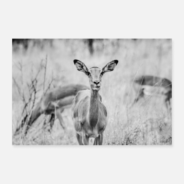 Chew chew Impala Africa black and white - Poster