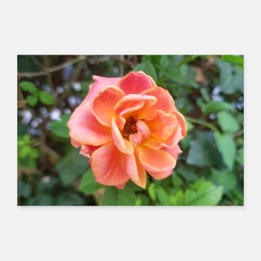 China China rose (in het Duits China-Rose) Rosa chinensis - Poster