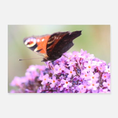 Butterfly Butterfly on purple blossom - Poster 36 x 24 (90x60 cm)