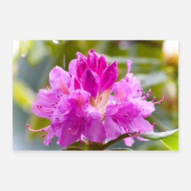 Rain Rhododendrons bloom in the rain - Poster