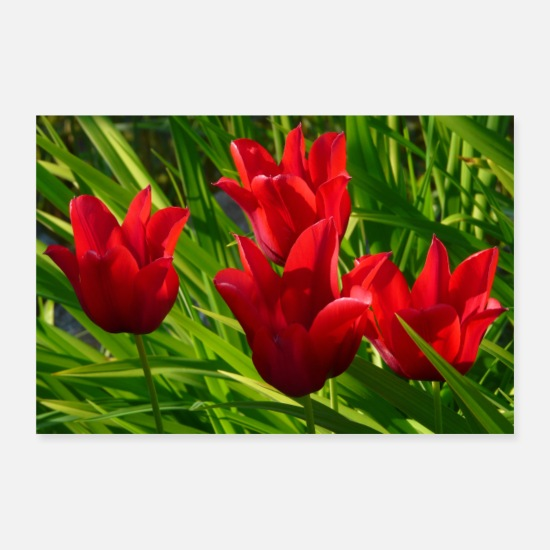 Garden Posters - Four red tulips on a green meadow - Posters white