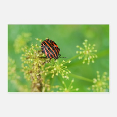 Bug Striped bug (Graphosoma lineatum) - Poster