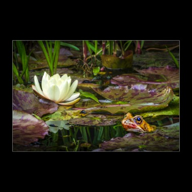 A Toad and the Water Lily - Poster 36 x 24 (90x60 cm)