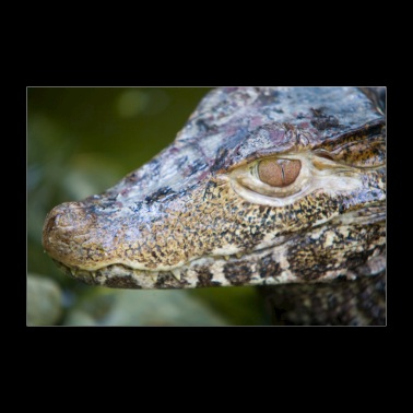 Paleosuchus palpebrosus - Caiman of Cuvier - Poster 36 x 24 (90x60 cm)