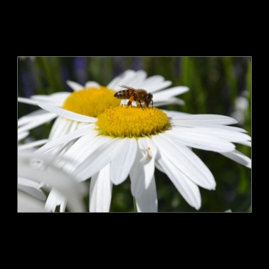 Bee trifts flower - Poster 36 x 24 (90x60 cm)