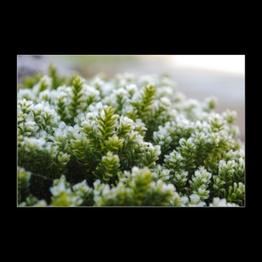 Moss Nature Macro Shot - Juliste 90x60 cm