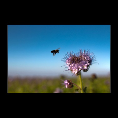 Bee collects nectar - Poster 36 x 24 (90x60 cm)