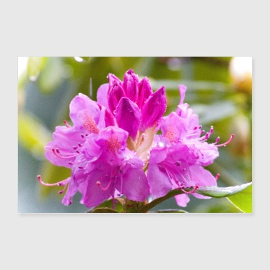 Rhododendron blomstrer i regnen - Poster 90x60 cm