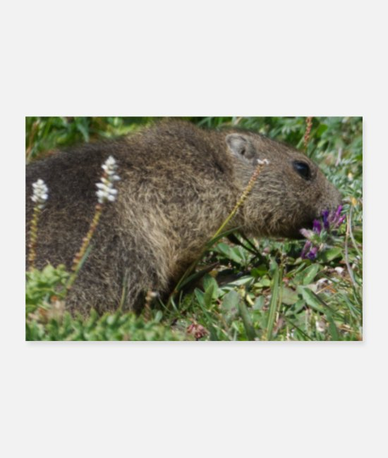 Groundhog Posters - Cute Groundhog Alps Europe Spring Nature Outdoor - Posters white