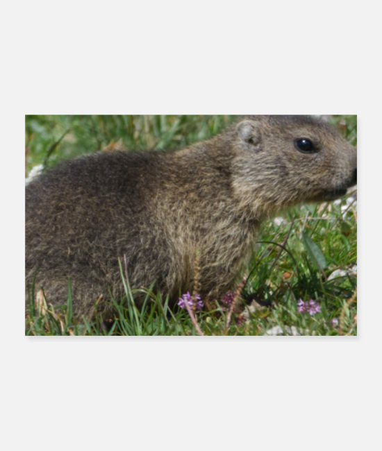 Groundhog Posters - Marmots Forecasting Woodchuck Animal Nature Alps - Posters white