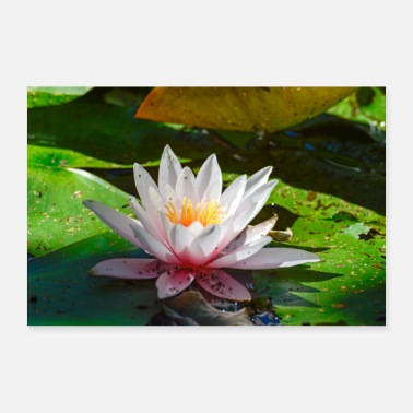 Water water lily - 30x20 cm Poster