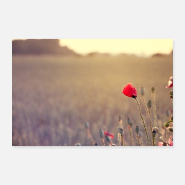 Red poppies at the field edge in the evening sunlight - Poster