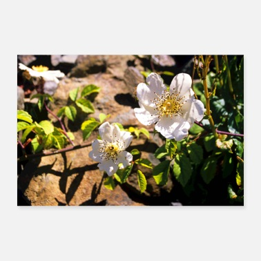 White Dog Rose - Poster
