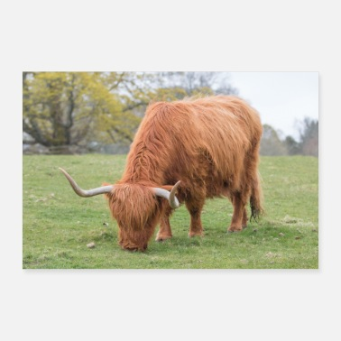 Highland A Highland cattle in the Scottish Highlands - Poster
