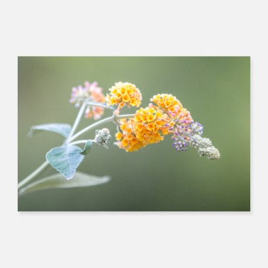 Lilac buddleia butterfly bush summer lilac lilac - Poster