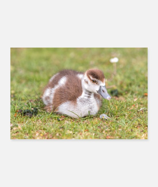 Wild Poster - Egyptian Goose chick (Nilgans) - Poster Weiß