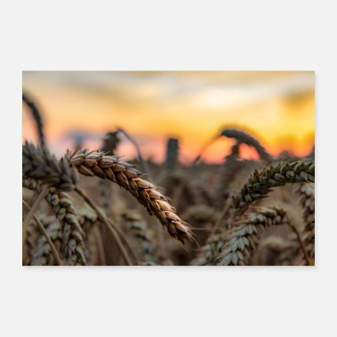 Wheat Wheat ear at sunset - Poster